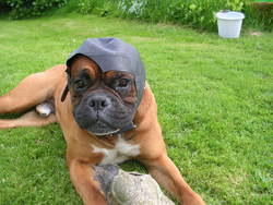 Andro Au Paradis, chien Boxer