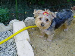Andy, chien Yorkshire Terrier