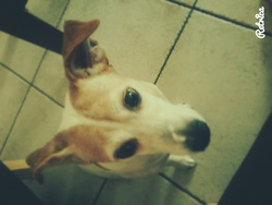 Andy, chien Jack Russell Terrier