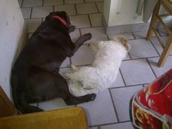 Andy, chien Coton de Tuléar