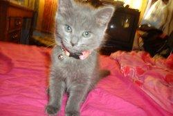 Anésia, chat Bleu russe