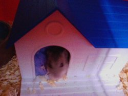 Anette, rongeur Hamster