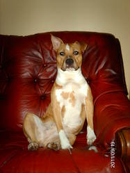 Ange, chien American Staffordshire Terrier