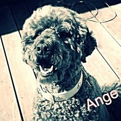Ange, chien Caniche