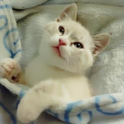 Ange, chat Siamois