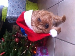 Ange, chien Yorkshire Terrier