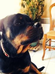 Angel, chien Rottweiler