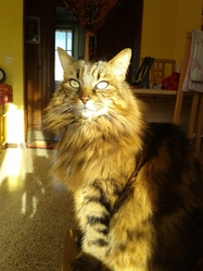 Angel, chat Maine Coon