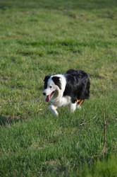 Angel, chien Berger australien