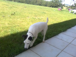 Angel , chien Jack Russell Terrier