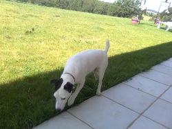 Angel , chien Jack Russell Terrier