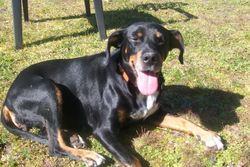 Angel, chien Beauceron