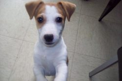 Angel, chien Jack Russell Terrier