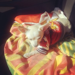 Angel, chien Chihuahua