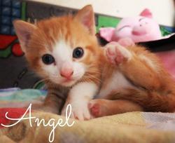 Angel, chat Européen