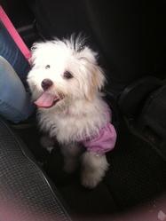 Angel, chien Bichon maltais