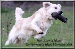 Angel Of Love De Zelkova, chien Golden Retriever