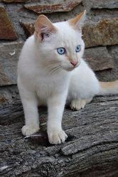 Angele, chat Européen
