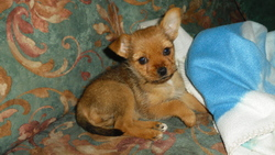 Angele, chien Chihuahua
