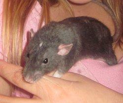 Angelo, rongeur Rat