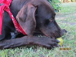 Angelo, chien Braque allemand à poil court