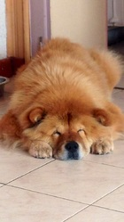 Anghor, chien Chow-Chow