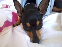 Gigi, chien Pinscher