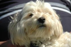 Angie, chien Bichon à poil frisé