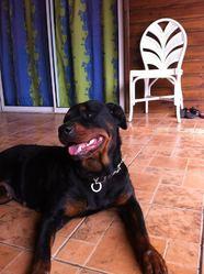 Angie, chien Rottweiler
