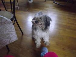Angie, chien Bobtail