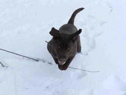 Angie, chien Labrador Retriever