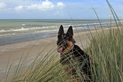 Angie, chien Berger allemand