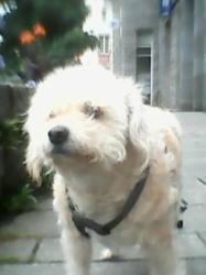 Angie, chien Fox-Terrier