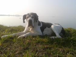 Angie, chien Dogue allemand