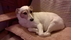 Angie, chien Jack Russell Terrier