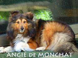 Angie De Montchat, chien Berger des Shetland