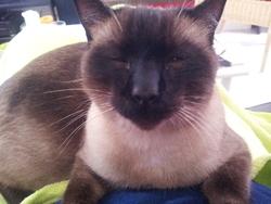 Angus , chat Siamois