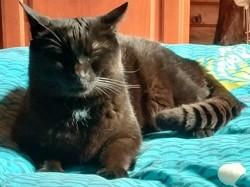 Angus, chat Européen