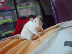 Angy, rongeur Rat