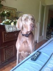 Angy, chien Braque de Weimar