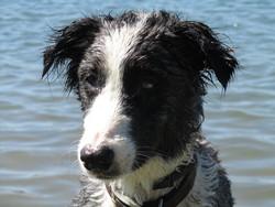 Anica, chien Border Collie