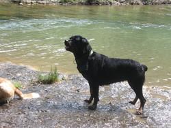 Anis, chien Rottweiler