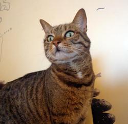 Anisette, chat Européen