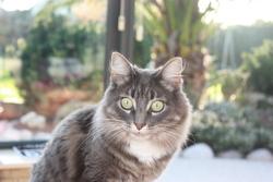 Anisette, chat Norvégien