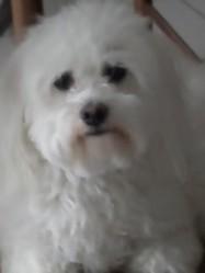 Anita, chien Coton de Tuléar