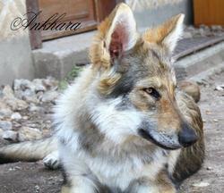 Ankhara, chien Chien-loup tchèque