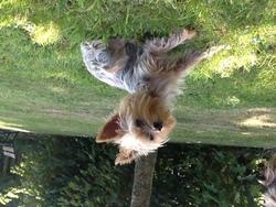 Anna, chien Yorkshire Terrier