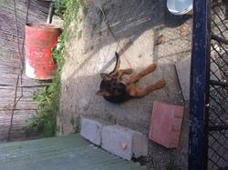 Anna, chien Berger allemand