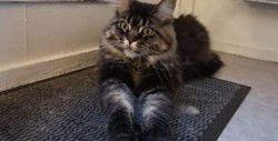Annabelle, chat Maine Coon