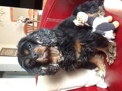 Annabelle, chien Cavalier King Charles Spaniel